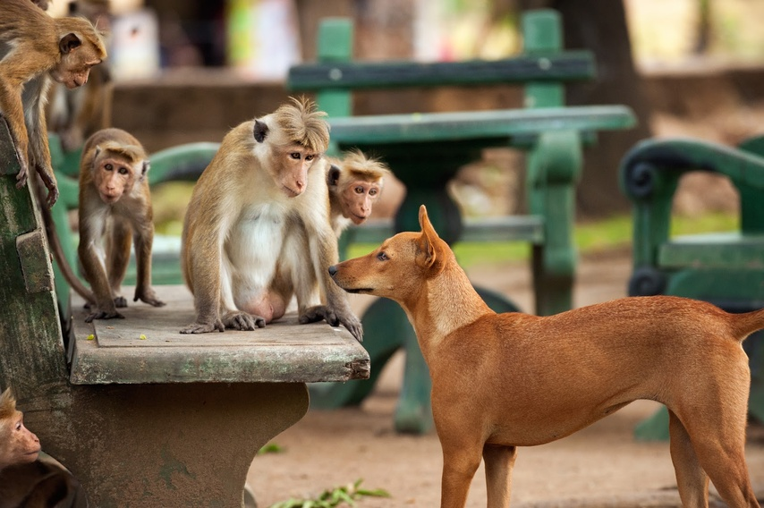 Description: Monkeys encounter a dog in the town.