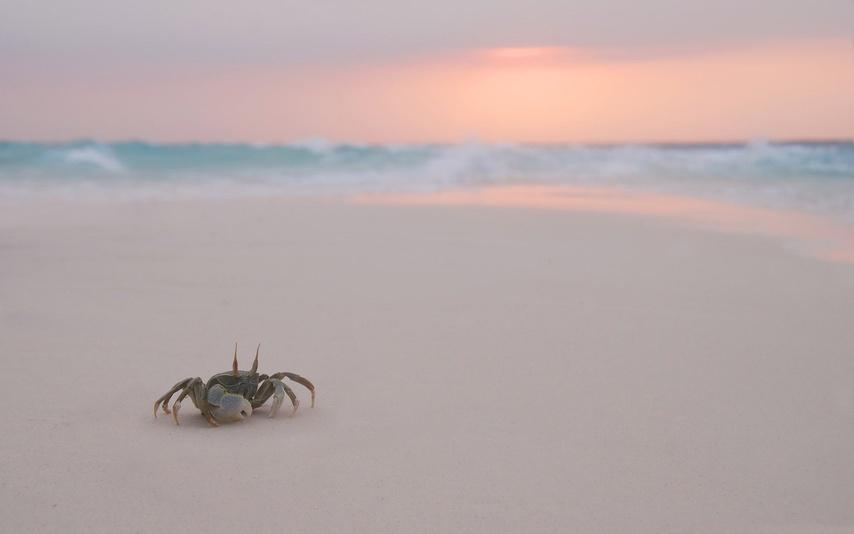 sand-crab