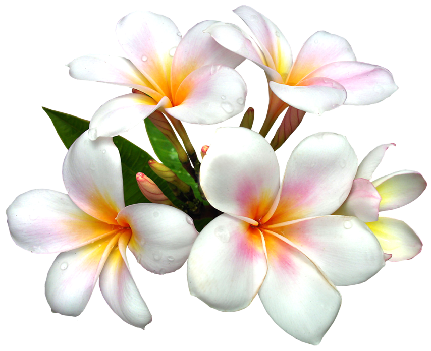 flowers_plumeria_desktop_1772x1445_hd-wallpaper-1187863