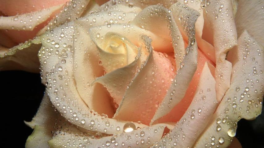 rained-frozen-rose-flowers-34673425-1366-768